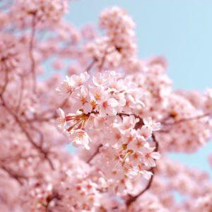 japanse-bloesem-fotobehang