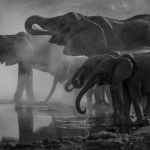 Zwart wit foto met olifanten voor fotobehang