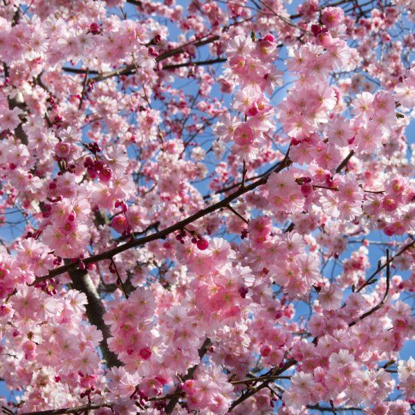 Fotobehang Bloesem tak met blauwe lucht