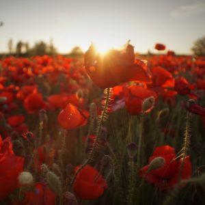 klaprozen veld zonsondergang voor fotobehang