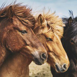 Foto 1 Paarden