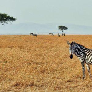 Foto 3 Zebra