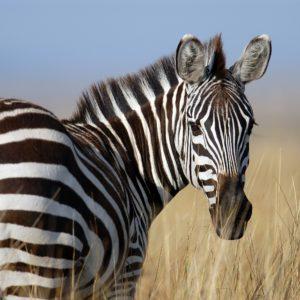Foto 1 Zebra