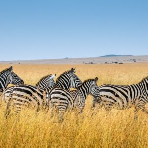 Foto 2 Zebra