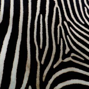 Foto 5 Zebra