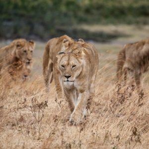 Foto 4 Leeuw