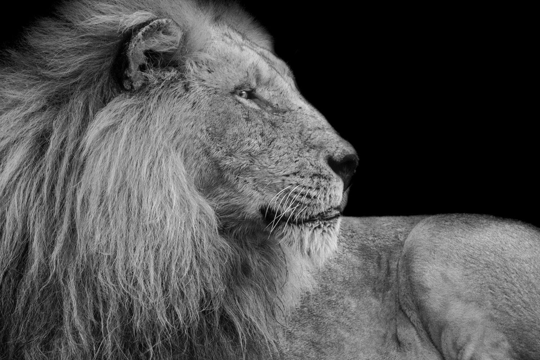 Fotobehang Leeuw zwart wit
