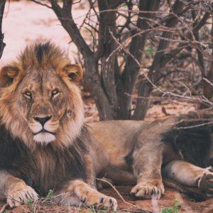 Foto 1 Leeuw