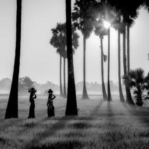 fotobehang palmbomen zwart wit natuur rijstvelden zonsondergang