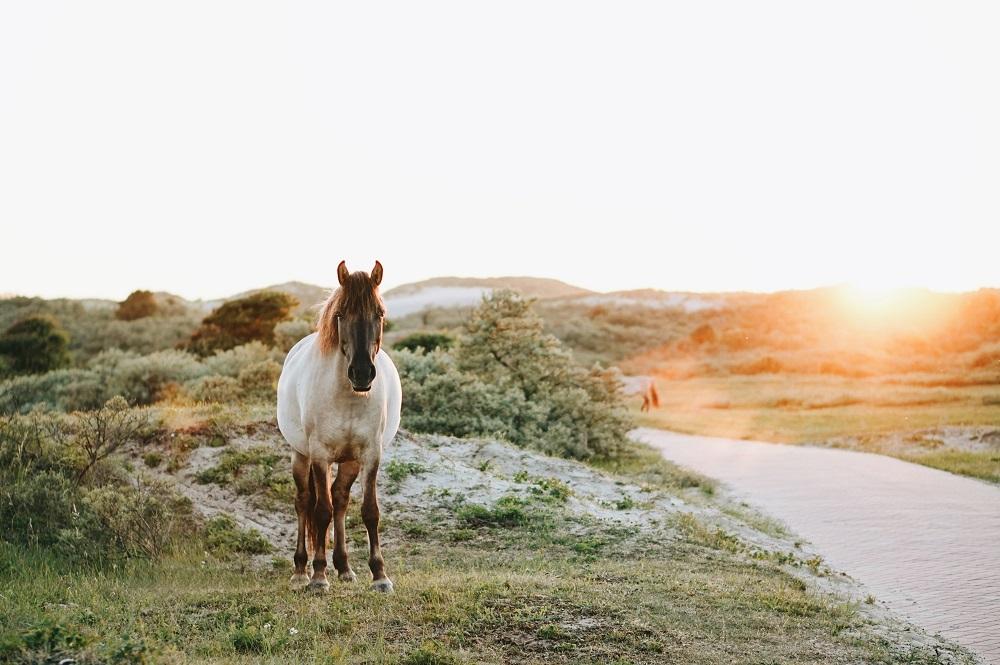 Konikpaard Nationaal Park Zuid Kennemerland