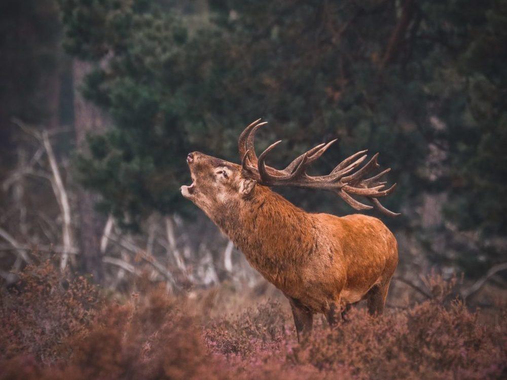 Bronzend Hert Nationale Park De Hoge Veluwe