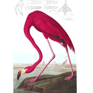 Birds of America - American Flamingo voor fotobehang