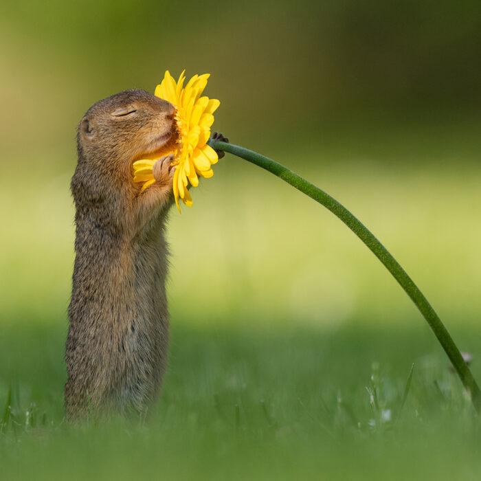 Natuur Dick van Duijn grondeekhoorn snuiven bloem