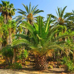 Foto 30 Palmbomen