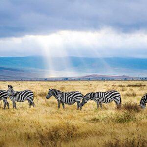Foto 24 Zebra