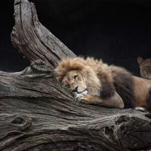 Foto 21 Leeuw