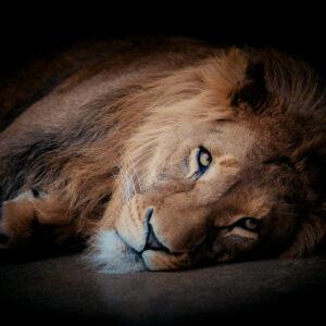 Foto 18 Leeuw