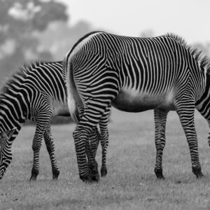 Foto 21 Zebra