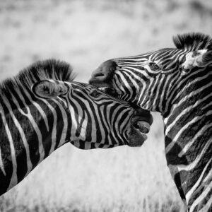 Foto 20 Zebra