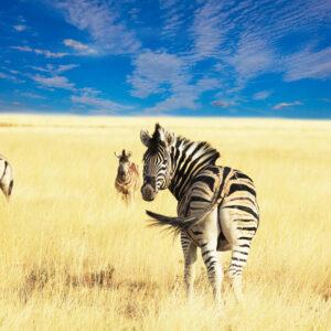 Foto 18 Zebra