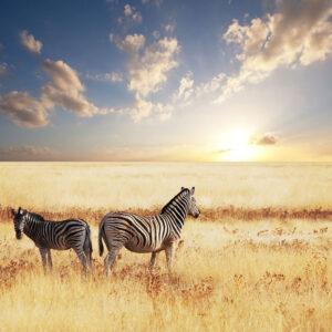 Foto 17 Zebra