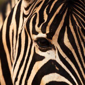 Foto 15 Zebra