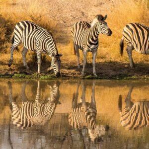Foto 23 Zebra