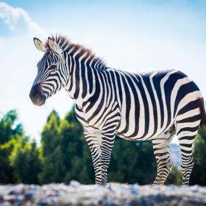Foto 12 Zebra