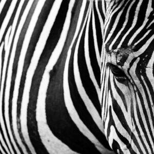 Foto 11 Zebra