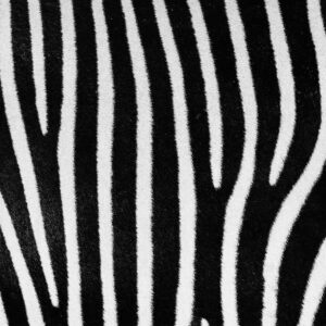 Foto 10 Zebra