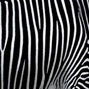 Foto 9 Zebra