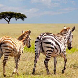 Foto 8 Zebra