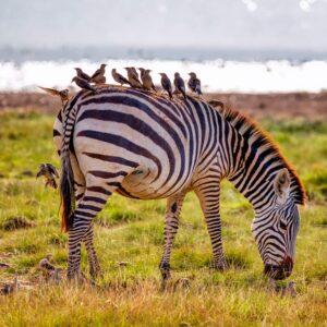 Foto 22 Zebra