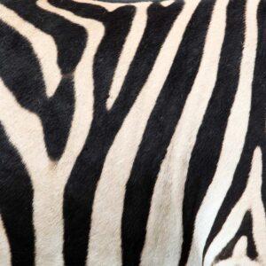 Foto 7 Zebra