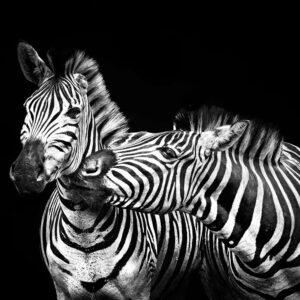 Foto 6 Zebra