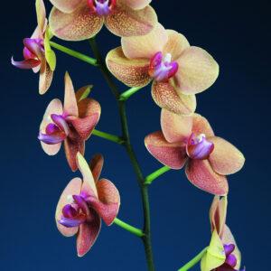 Foto 12 Orchidee