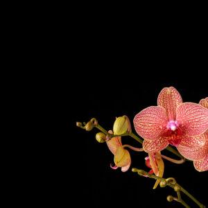 Foto 10 Orchidee