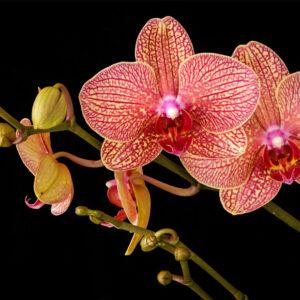Foto 9 Orchidee