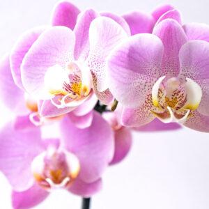 Foto 4 Orchidee