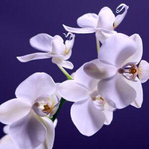 Foto 1 Orchidee